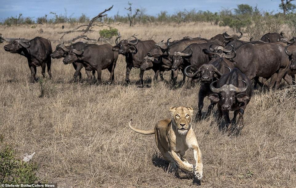 Sư tử ăn thịt trâu non, trâu lớn lao đến tung đòn sấm sét Ảnh 8