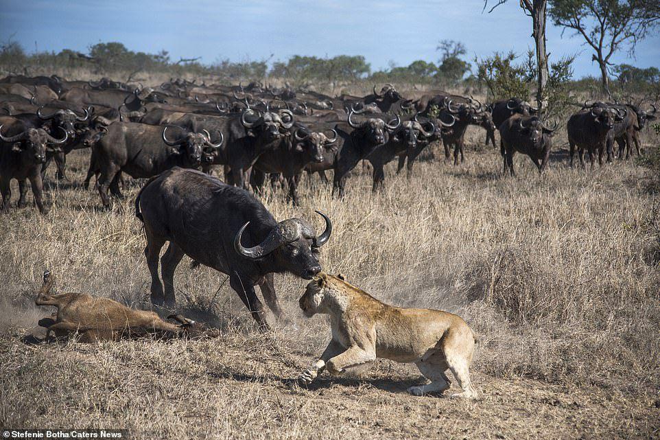 Sư tử ăn thịt trâu non, trâu lớn lao đến tung đòn sấm sét Ảnh 7