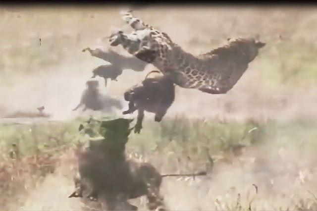Lợn rừng liều mạng tấn công báo, giải cứu con Ảnh 1