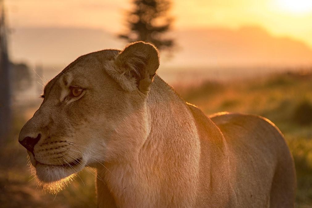 Du khách chi cả trăm USD một đêm để ngủ giữa 77 con sư tử Ảnh 10
