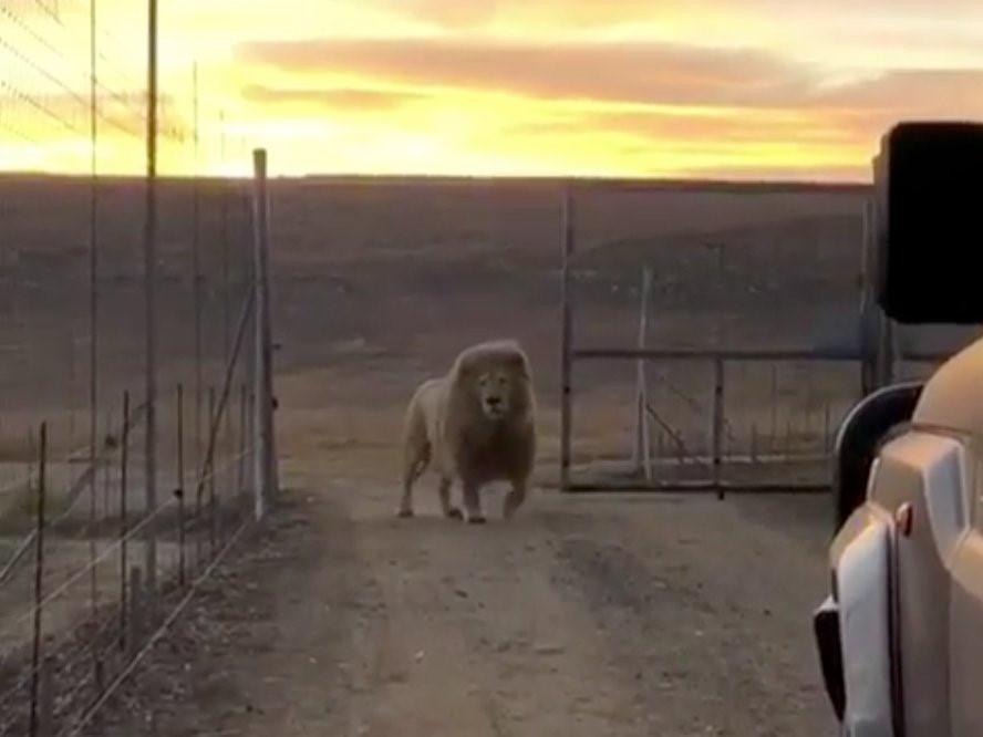 Du khách chi cả trăm USD một đêm để ngủ giữa 77 con sư tử Ảnh 2