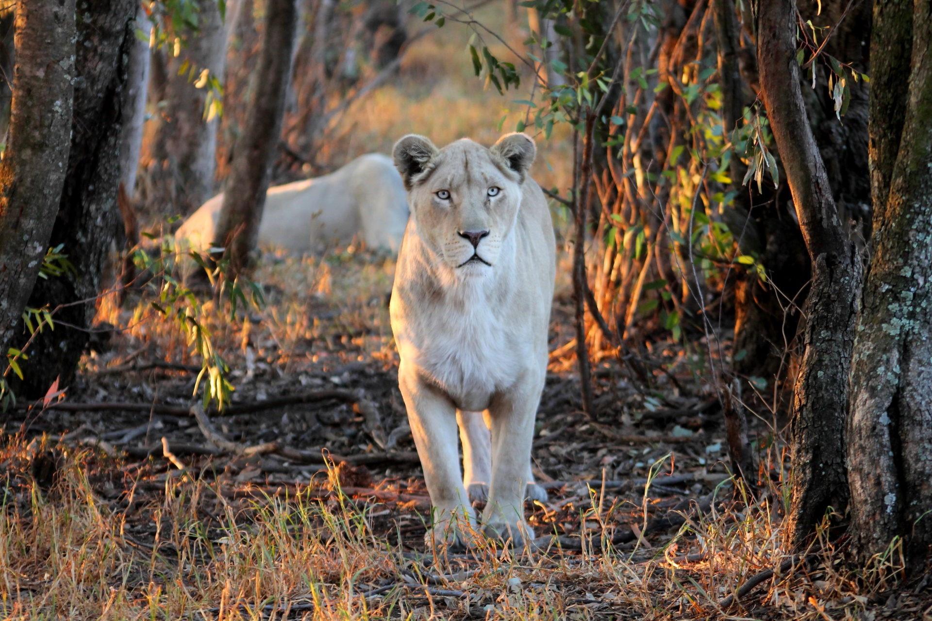 Du khách chi cả trăm USD một đêm để ngủ giữa 77 con sư tử Ảnh 9