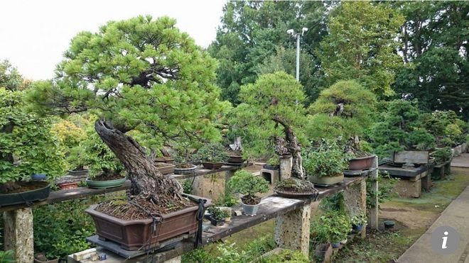 Nhật Bản: Bị trộm cây quý 400 năm tuổi và phản ứng bất ngờ của người chủ Ảnh 1