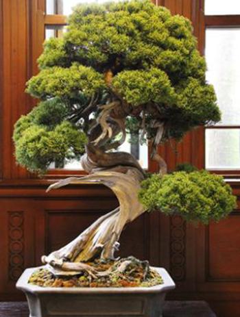 Nhật Bản: Bị trộm cây quý 400 năm tuổi và phản ứng bất ngờ của người chủ Ảnh 2