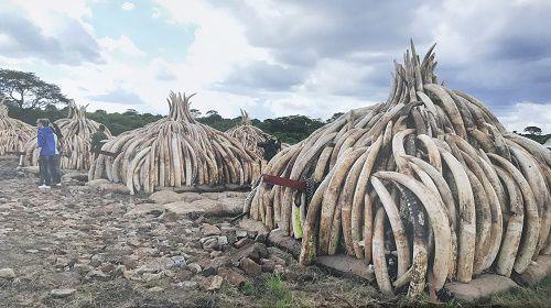 Bốn quốc gia châu Phi muốn giải phóng số lượng ngà voi khổng lồ bị tồn kho Ảnh 1