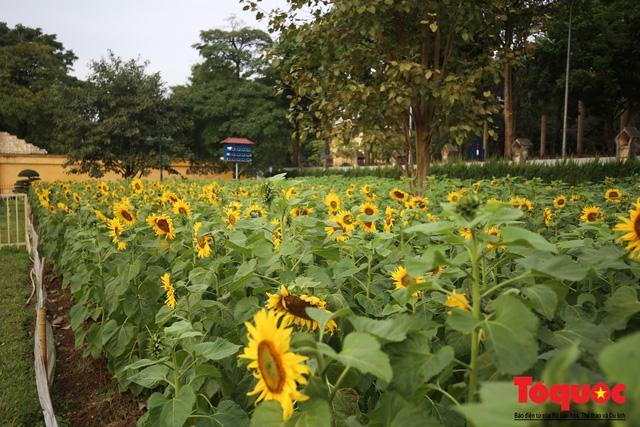 Cánh đồng hoa hướng dương 2.000m2 nở rộ tại Hoàng thành Thăng Long Ảnh 4