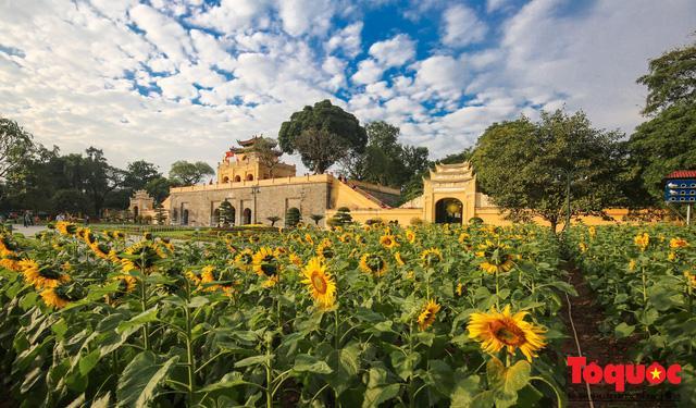 Cánh đồng hoa hướng dương 2.000m2 nở rộ tại Hoàng thành Thăng Long Ảnh 10