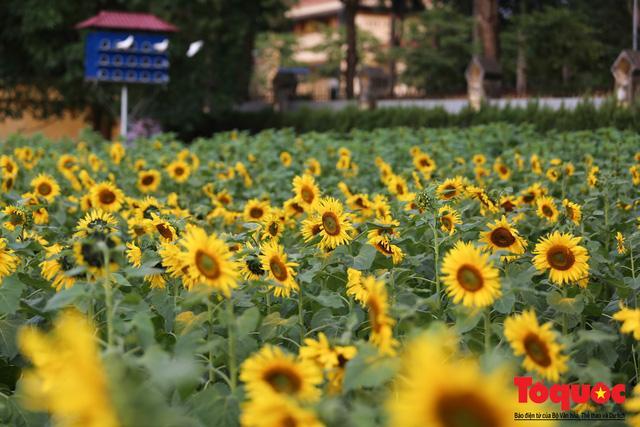 Cánh đồng hoa hướng dương 2.000m2 nở rộ tại Hoàng thành Thăng Long Ảnh 2
