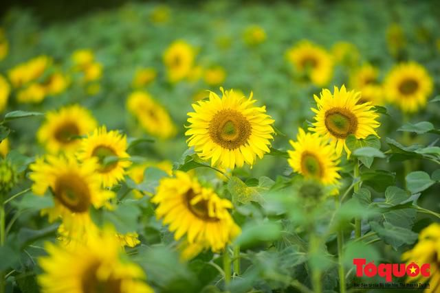 Cánh đồng hoa hướng dương 2.000m2 nở rộ tại Hoàng thành Thăng Long Ảnh 7