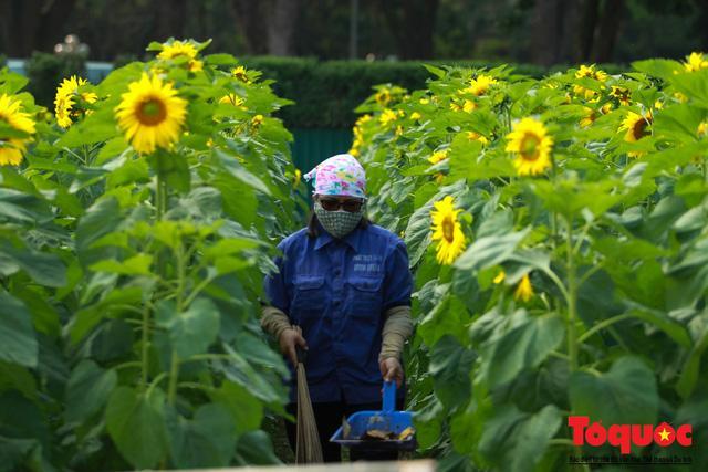 Cánh đồng hoa hướng dương 2.000m2 nở rộ tại Hoàng thành Thăng Long Ảnh 3