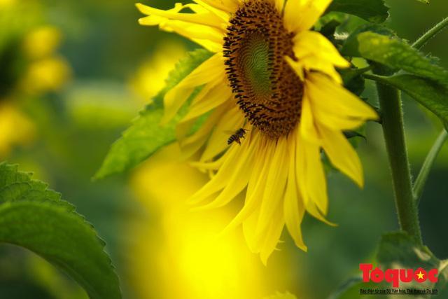 Cánh đồng hoa hướng dương 2.000m2 nở rộ tại Hoàng thành Thăng Long Ảnh 5