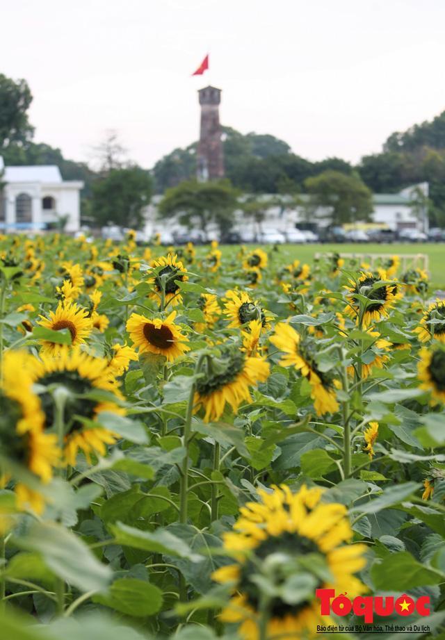 Cánh đồng hoa hướng dương 2.000m2 nở rộ tại Hoàng thành Thăng Long Ảnh 12