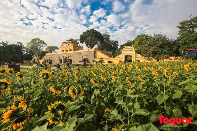 Cánh đồng hoa hướng dương 2.000m2 nở rộ tại Hoàng thành Thăng Long Ảnh 1