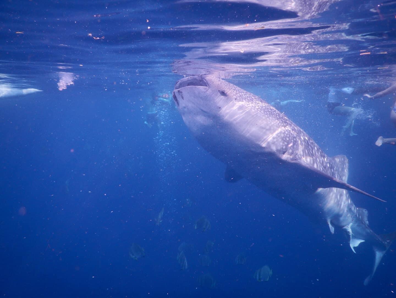 Lưng trần, lặn biển ngắm cá mập voi dài 5 m ở Philippines Ảnh 8