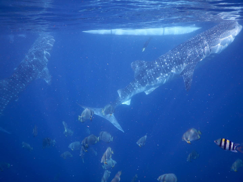 Lưng trần, lặn biển ngắm cá mập voi dài 5 m ở Philippines Ảnh 7