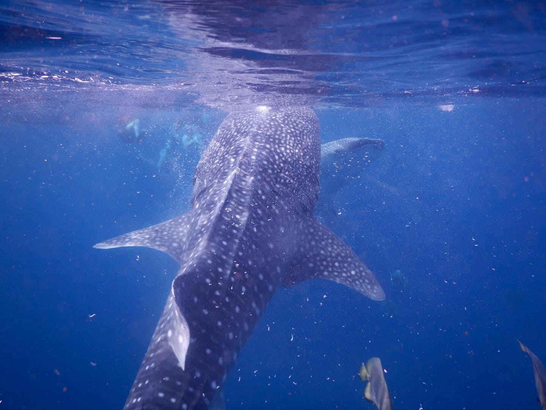 Lưng trần, lặn biển ngắm cá mập voi dài 5 m ở Philippines Ảnh 11