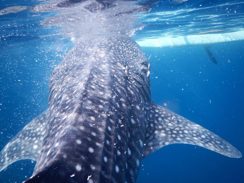 Lưng trần, lặn biển ngắm cá mập voi dài 5 m ở Philippines Ảnh 9