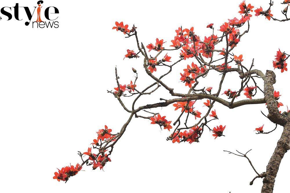 Gọi tên em...hoa Gạo tháng 3 Ảnh 1