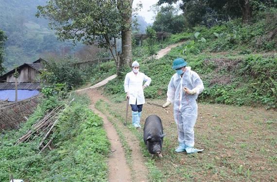 Bắc Kạn đối phó với dịch tả lợn châu Phi Ảnh 1