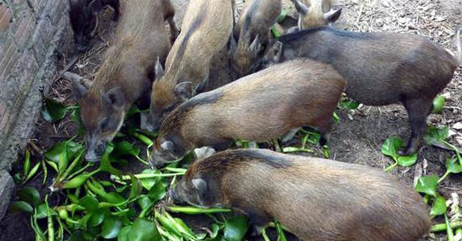 Quy định 'bèo, thân chuối không phải thức ăn chăn nuôi' có hợp pháp? Ảnh 1