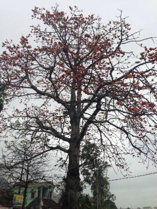 Thổn thức hoa gạo tháng ba Ảnh 3