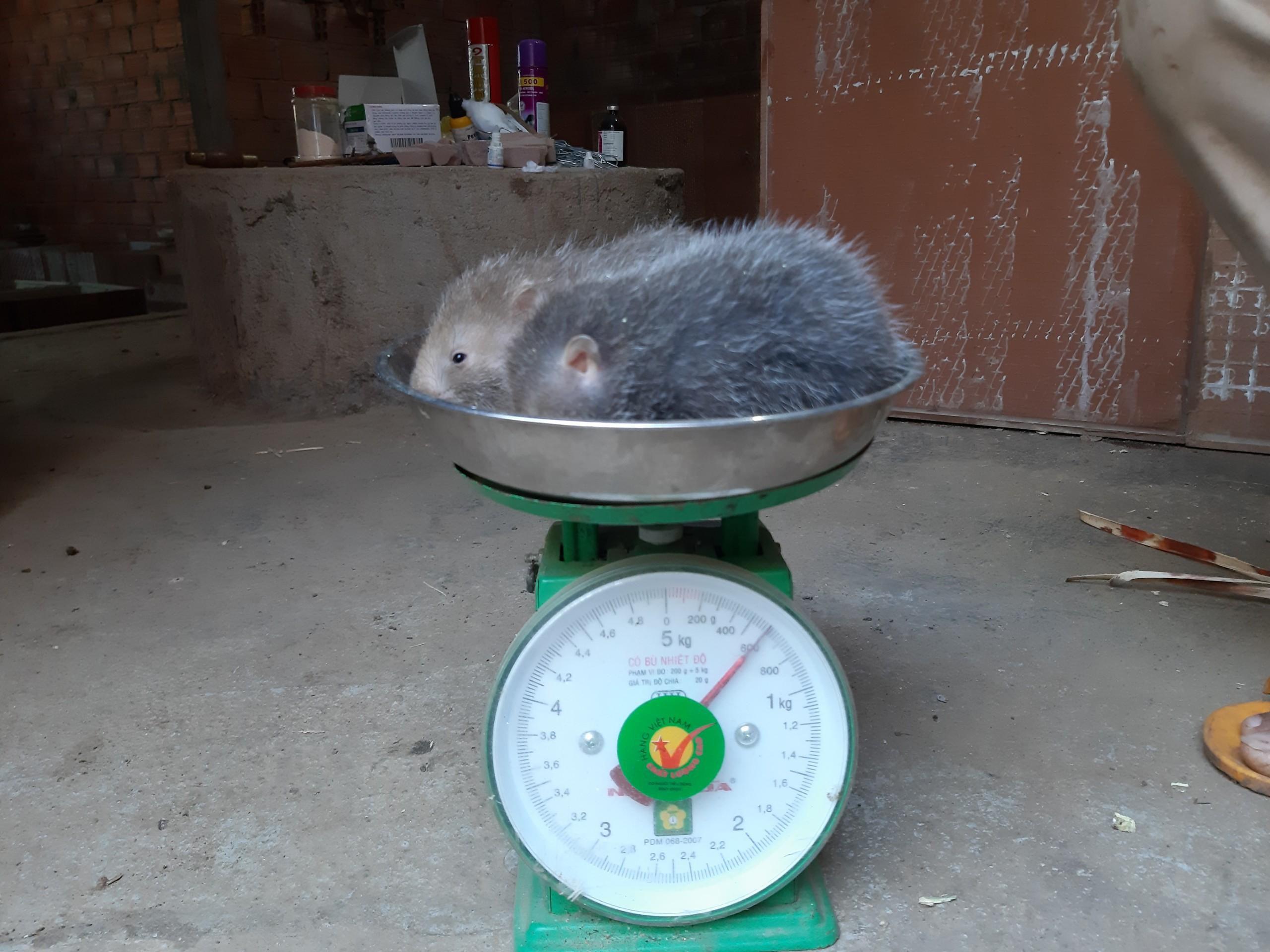 9X Gia Lai nuôi 'đàn chuột' đẻ ra tiền bạc nhưng chỉ ăn tre, mía Ảnh 3
