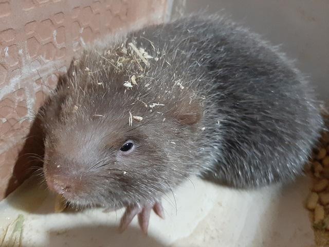 9X Gia Lai nuôi 'đàn chuột' đẻ ra tiền bạc nhưng chỉ ăn tre, mía Ảnh 2