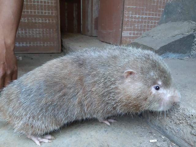 9X Gia Lai nuôi 'đàn chuột' đẻ ra tiền bạc nhưng chỉ ăn tre, mía Ảnh 6