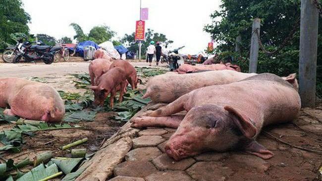 Tỉnh đầu tiên của Việt Nam công bố hết dịch tả lợn châu Phi Ảnh 1
