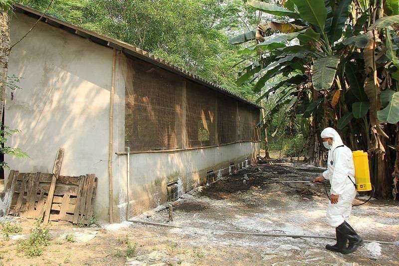 Phát hiện thêm ổ dịch tả heo châu Phi tại Thừa Thiên - Huế Ảnh 3