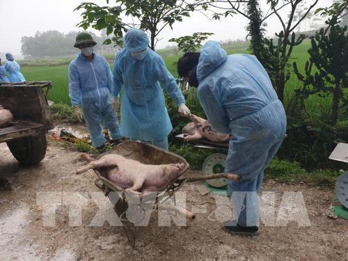 Xác lợn trôi trên sông không rõ nguồn gốc có phải bị dịch tả lợn châu Phi? Ảnh 1