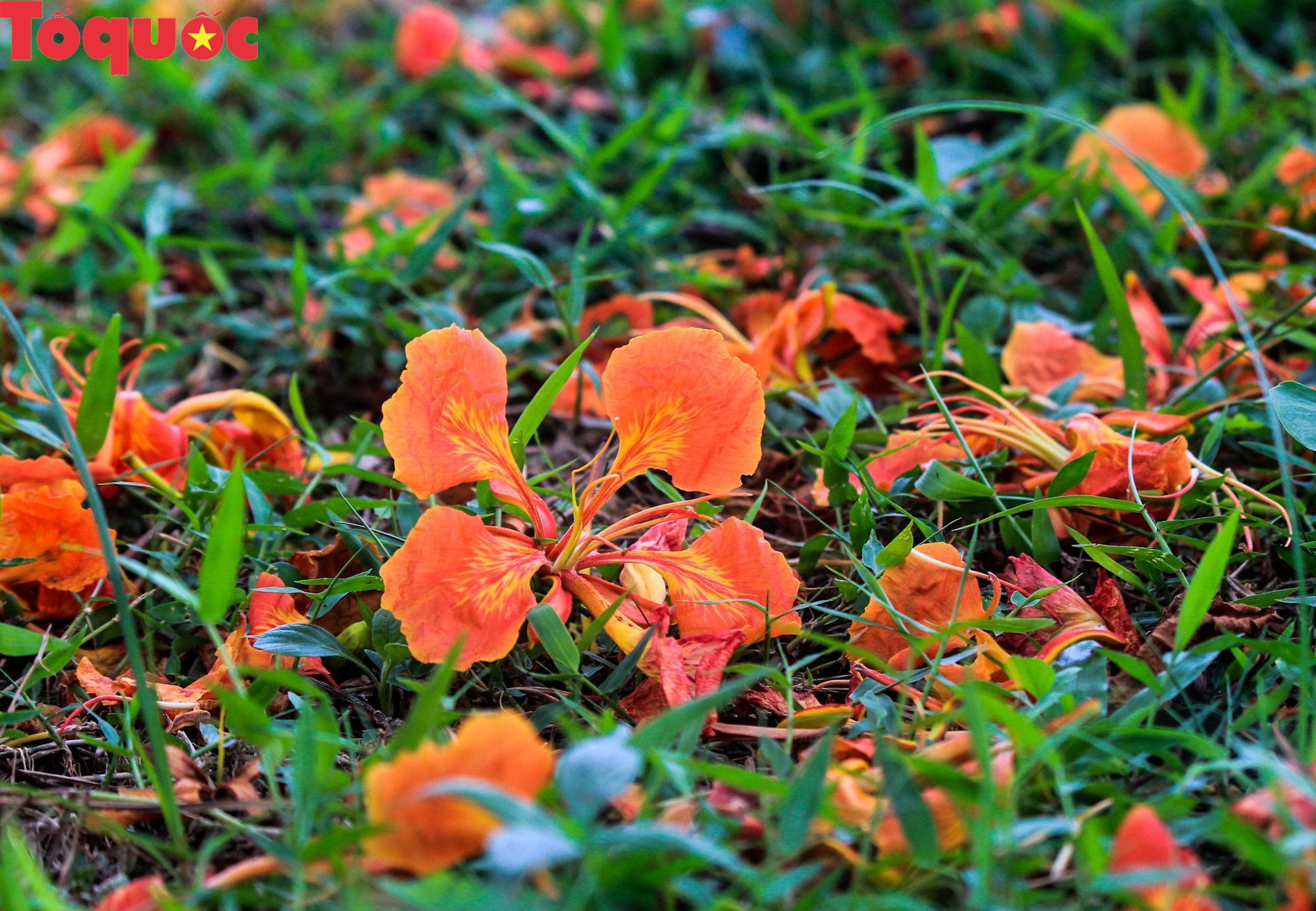 Đất trời xứ Huế đẹp rực rỡ trong mùa phượng vĩ nở hoa Ảnh 8