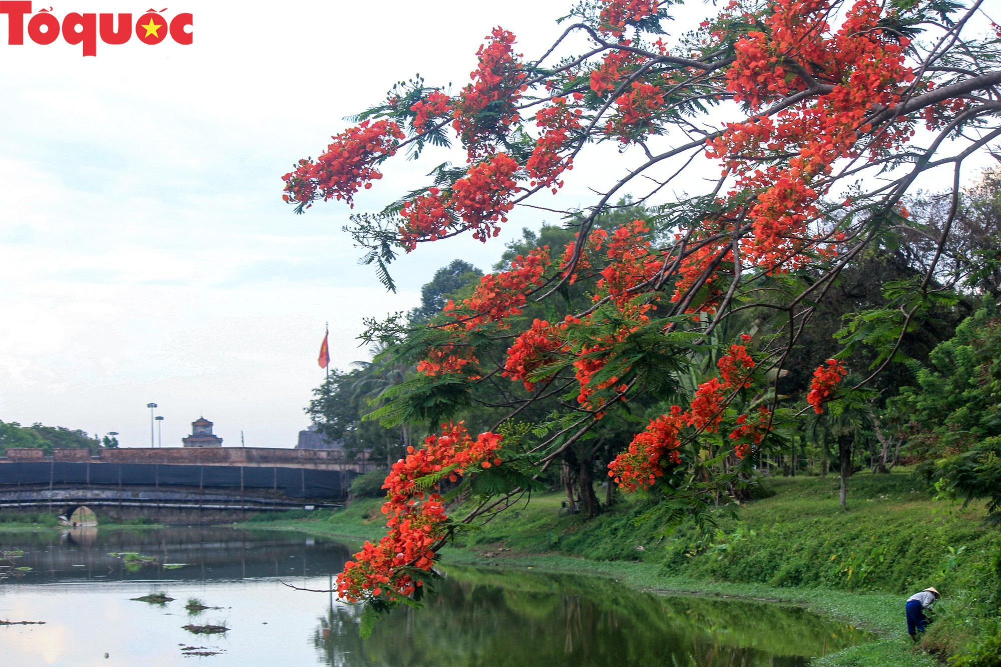 Đất trời xứ Huế đẹp rực rỡ trong mùa phượng vĩ nở hoa Ảnh 11