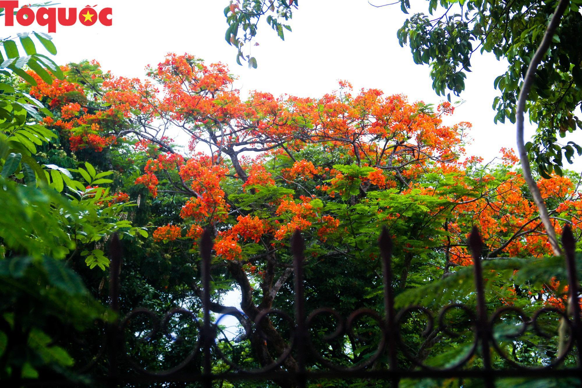 Đất trời xứ Huế đẹp rực rỡ trong mùa phượng vĩ nở hoa Ảnh 5