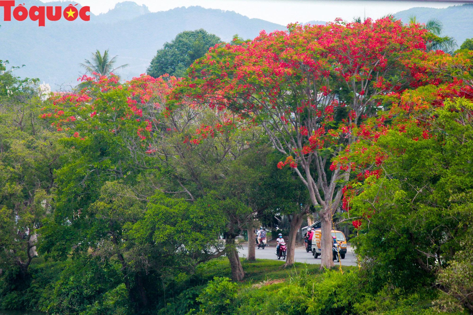 Đất trời xứ Huế đẹp rực rỡ trong mùa phượng vĩ nở hoa Ảnh 1
