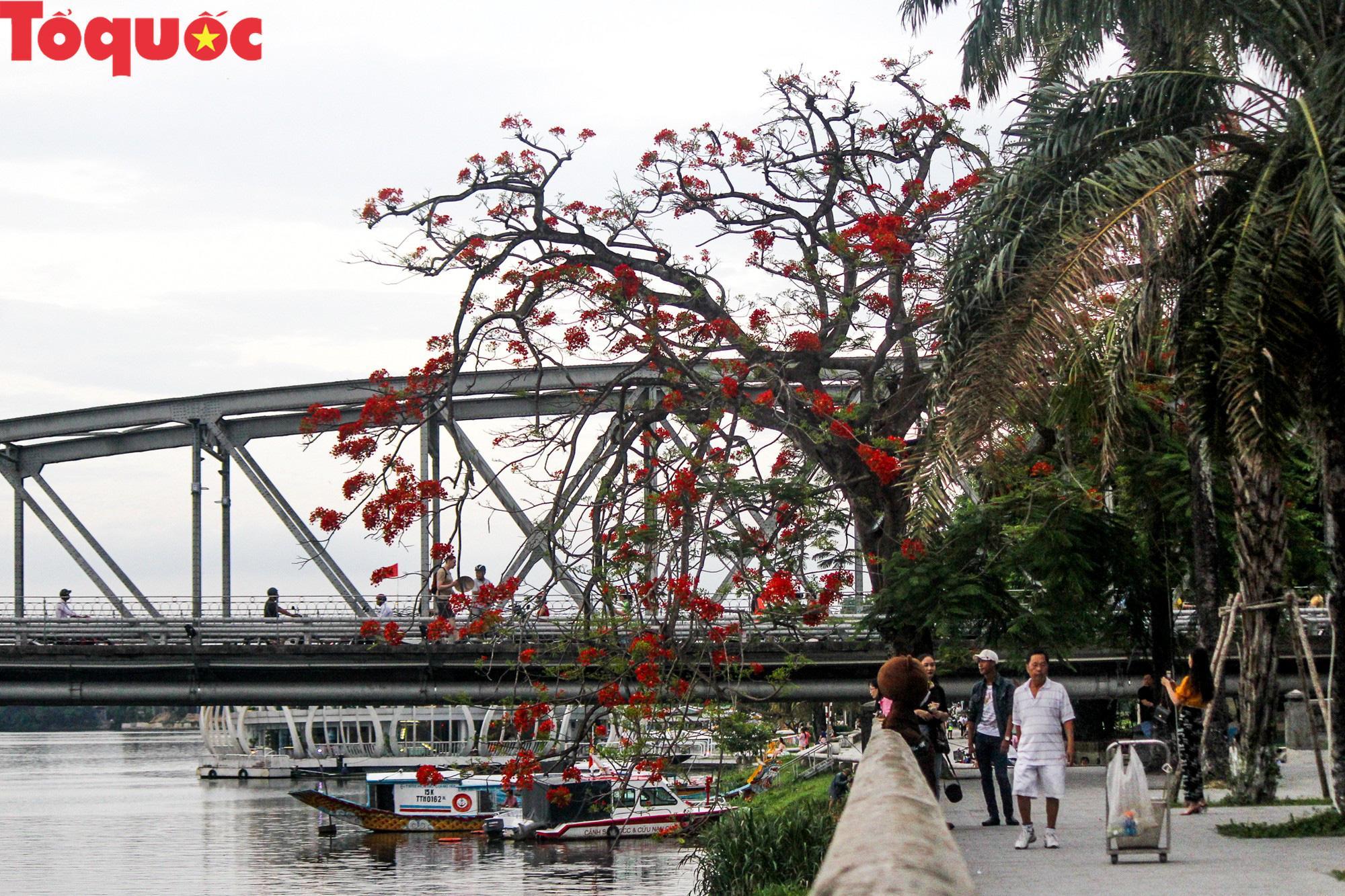 Đất trời xứ Huế đẹp rực rỡ trong mùa phượng vĩ nở hoa Ảnh 17