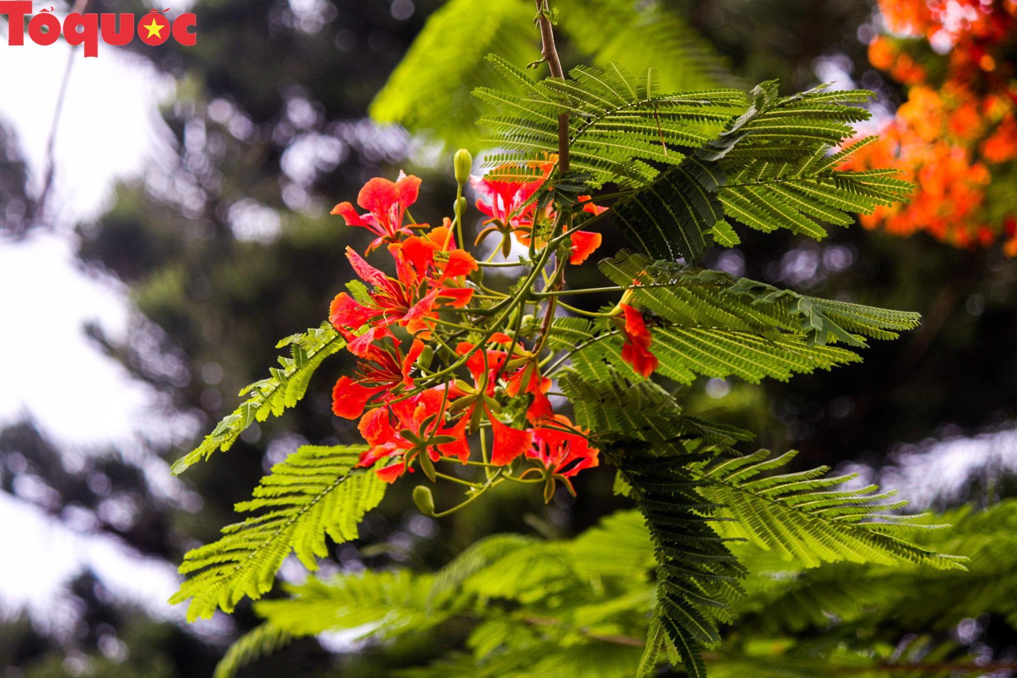 Đất trời xứ Huế đẹp rực rỡ trong mùa phượng vĩ nở hoa Ảnh 7