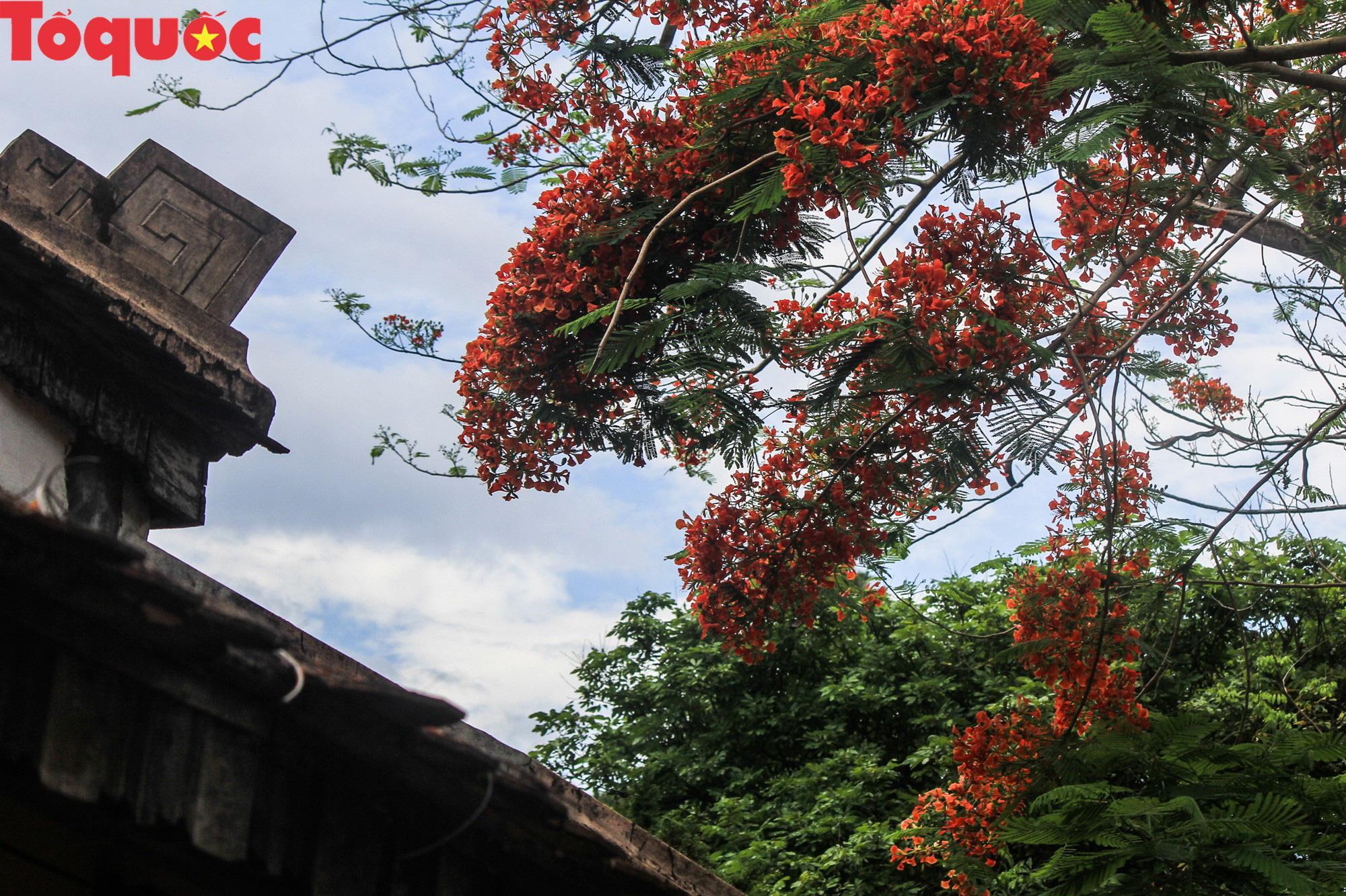 Đất trời xứ Huế đẹp rực rỡ trong mùa phượng vĩ nở hoa Ảnh 6