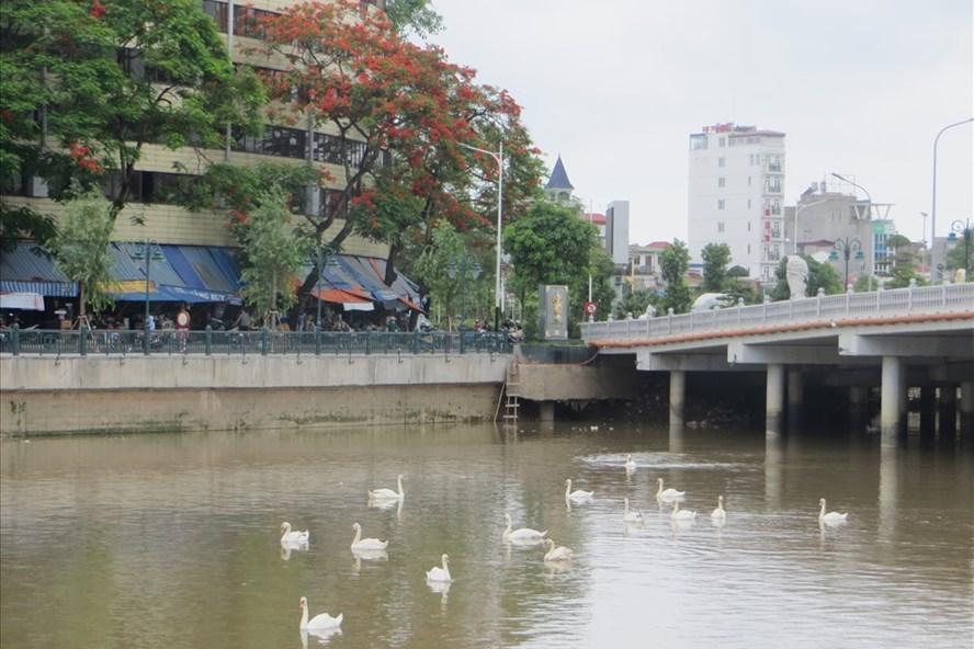 Người dân Hải Phòng đề xuất thả thêm thiên nga trong hồ Tam Bạc Ảnh 1