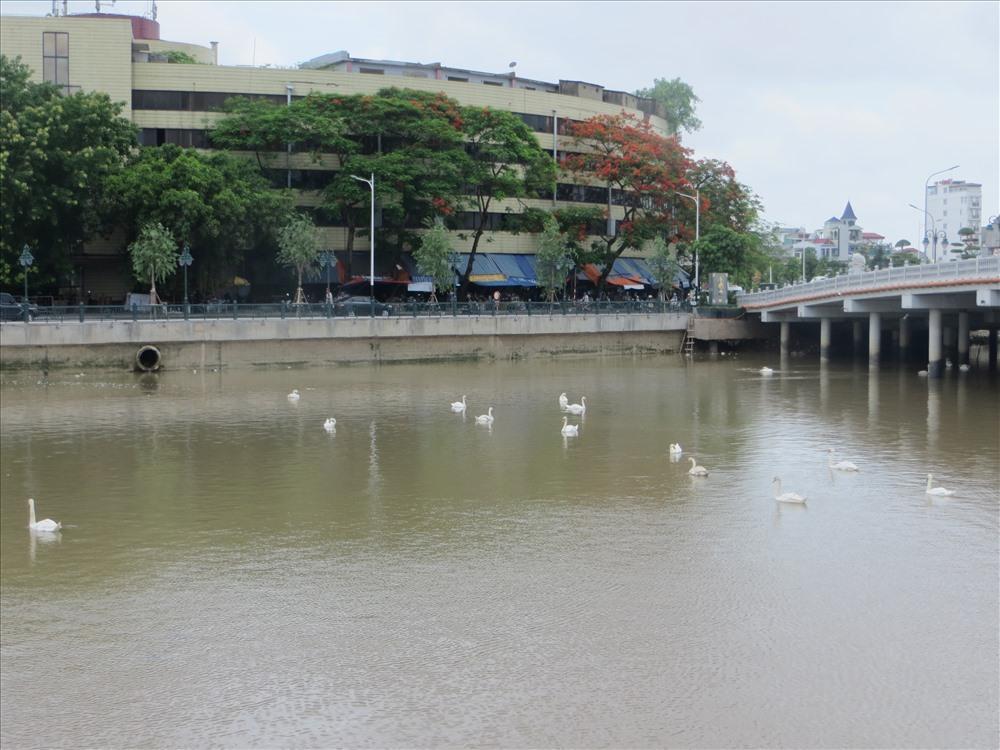 Người dân Hải Phòng đề xuất thả thêm thiên nga trong hồ Tam Bạc Ảnh 3