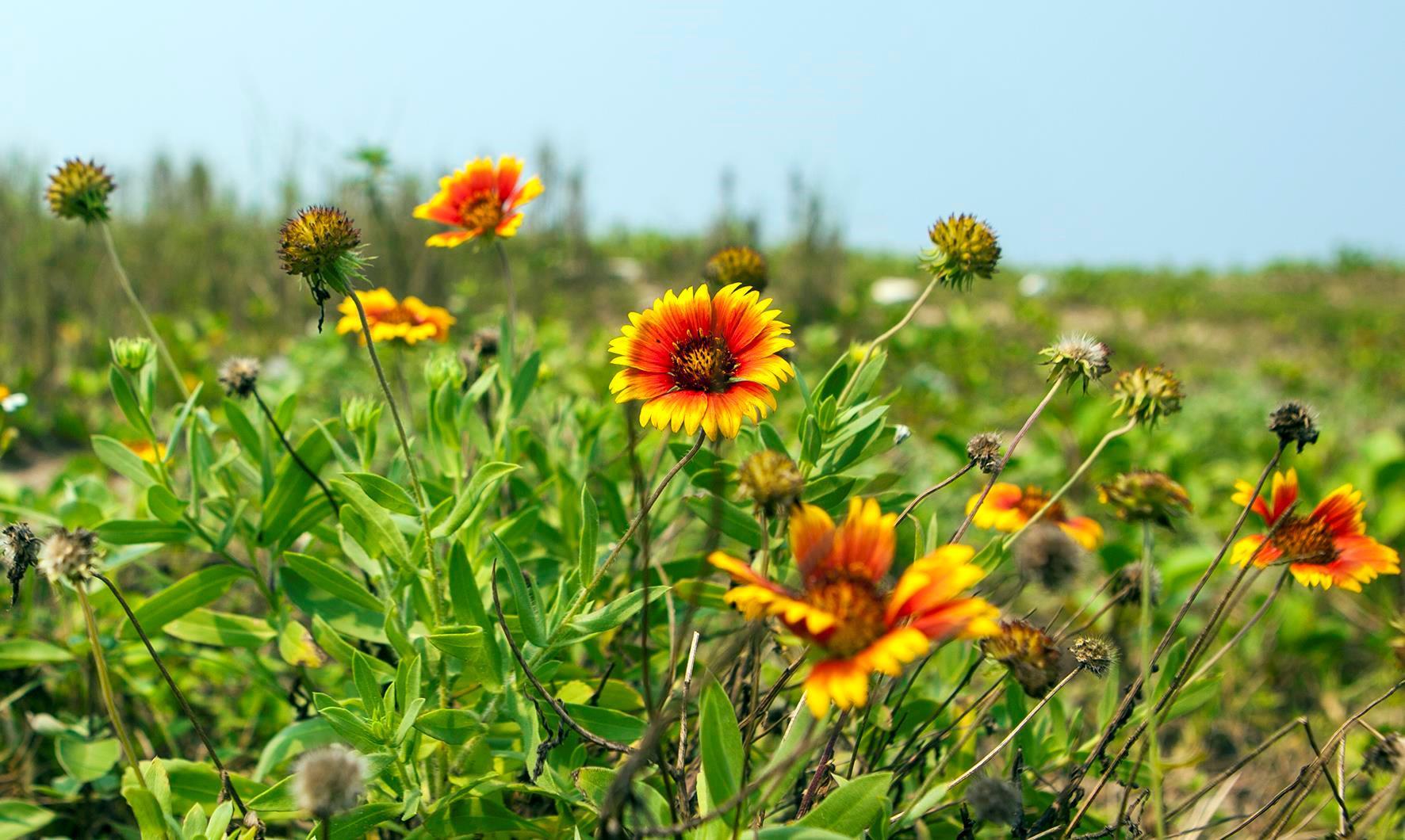 Loài hoa nở trên cát ở Cửa Lò hút du khách tới check-in Ảnh 2