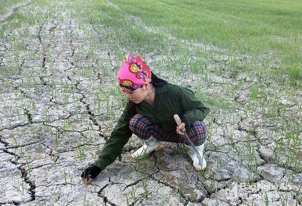 Gần 1.000 ha lúa hè thu ở Hưng Nguyên có nguy cơ chết cháy Ảnh 1