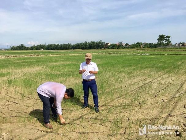 Gần 1.000 ha lúa hè thu ở Hưng Nguyên có nguy cơ chết cháy Ảnh 2