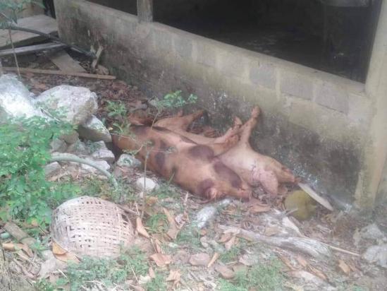 Dịch tả lợn châu Phi xuất hiện tại Quảng Bình Ảnh 2