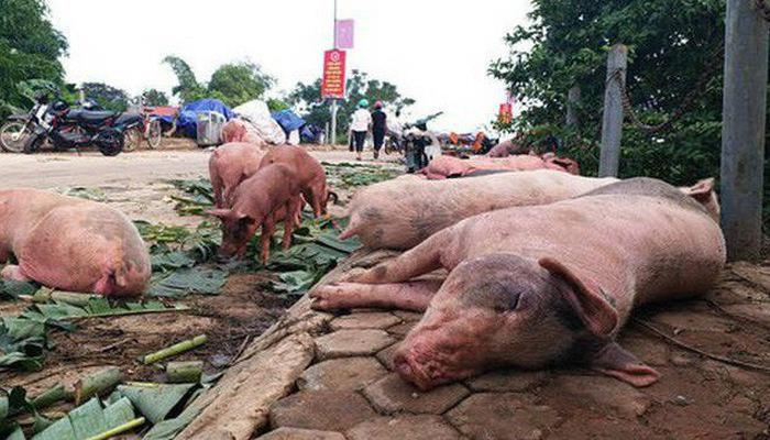 Dịch tả lợn châu Phi tại Hà Nội vẫn diễn biến phức tạp Ảnh 1