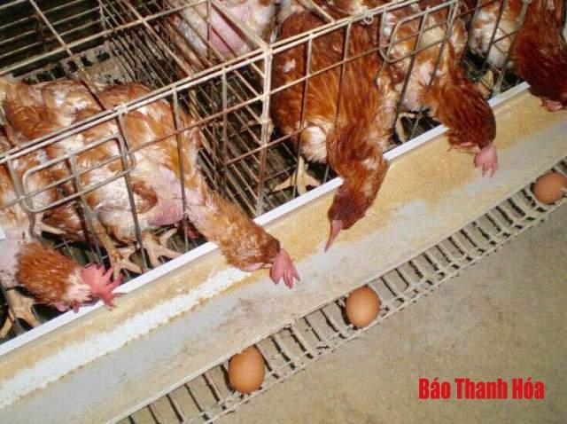 Thịt gà thải loại: Dai, ngon nhưng liệu có an toàn? Ảnh 1