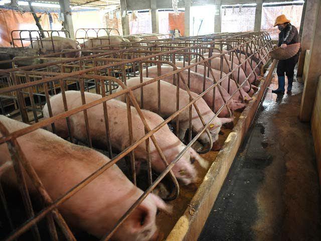 Tiêu hủy đàn lợn 20.000 con: Họp bàn 1 quyết định kỷ lục Ảnh 1