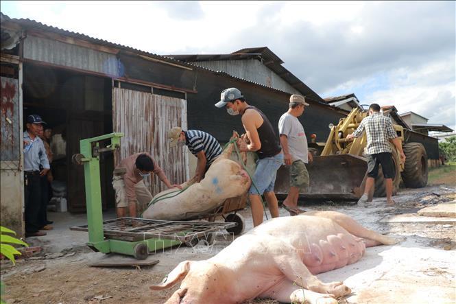 Hai tỉnh mới phát hiện dịch tả lợn châu Phi khẩn trương dập dịch Ảnh 2