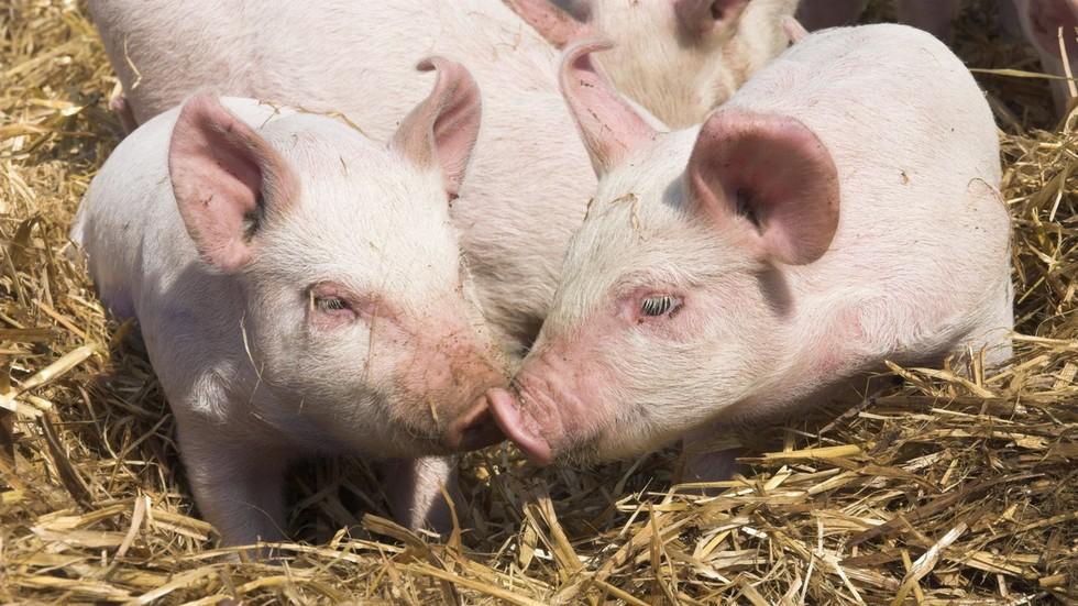 Thành tựu y học: Tim lợn có thể dùng để cấy ghép cho người Ảnh 1