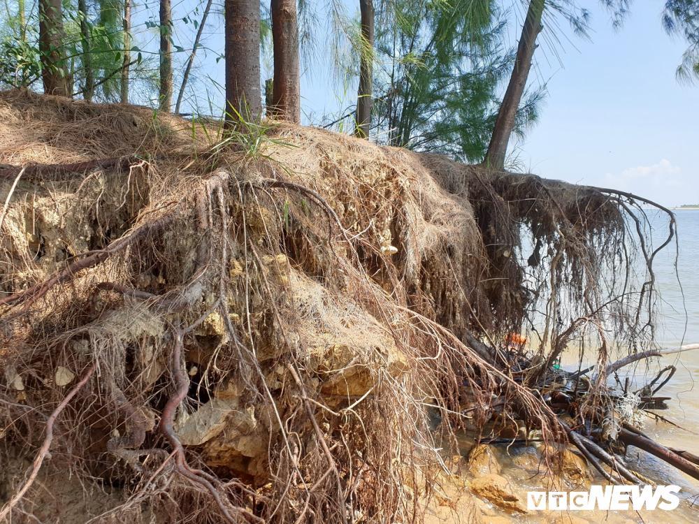 Rừng thông ven bờ Cửa Đại bị sóng biển 'nuốt chửng' Ảnh 8